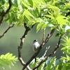 5月の森、エナガの雛が巣立ってた