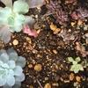 カクトロコを真似して寄せ植え