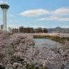 桜めぐり(1) 五稜郭公園…