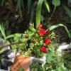 外に置いている多肉ちゃんの赤いお花です!
