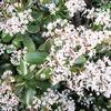 「金のなる木」って、見ようによって実に妙な名前。「Crassula ovata」という学名よりも、分かりやすい名前の方が浸透するんだね。