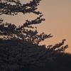 よくよく見れば山桜