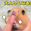 【ハムスター 動画】ハムスターを持ちたい!でも暴れる!そんな時にあるボタンを押すと…。