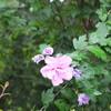 雨の中に咲くピンク