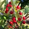 赤い実のアロニア