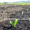 トウモロコシを植え付けました