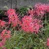 秋の花「彼岸花(ヒガンバナ)」が咲いていたよ!