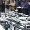 水揚げが例年の6分の1、秋サバ不漁に業者悲鳴