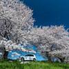 近くの桜 #2
