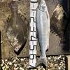 二年ぶりの鮭と王様マツカワを釣る。