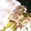 桜舞い散る夕暮れ