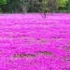 お庭に彩り‼芝桜の見方 育て方 増やし方