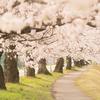 桜恋に桜休み!?:美しい桜言葉