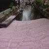 京都の桜(その1)