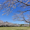 2019、泉自然公園の桜