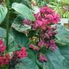 新宿御苑で見た植物22 紅花臭木(ベニバナクサギ)