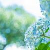白山神社の紫陽花が見頃で癒やされました