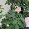 小さな庭のバラ Ⅵ