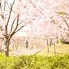 狭山池公園の桜 Ⅳ