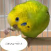 【鳥さん】うちの子がペレットへの切り替えに成功しました♪
