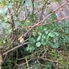 河津桜の芽膨らむ