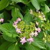 ガクアジサイ 可愛い花が咲きました