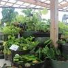 スイレン鉢や水生植物!半額セール!!(∩´∀`)∩