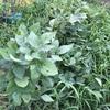 茶枝豆『福の泉』の収穫&実食!濃い枝豆の風味がたまらん(><)