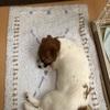 新しい家族 ジャックラッセルテリアが我が家に来た(3)