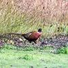 コウライキジ(Pheasant)