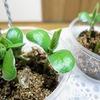 【実験断念】枝豆の水耕栽培5回目。12株を密集させて育てると、収獲率がどうなるのか気になります