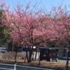 中央地区の河津桜、相模原 中央支援学校!