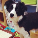 Border Collie 鶴千代