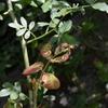 バラゾウムシの被害 芽だけじゃなくて葉っぱも食すバラゾウムシ