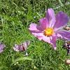 庭の千草 ~クローバーは幸せを運ぶ、かな?~