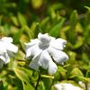 かわいい八重咲き
