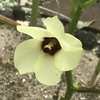 オクラ 花と実