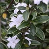 小さいながらなかなか美しい花を咲かせているハクチョウゲ.「白いラッパ状の花」という意味の「ハクチョウゲ 白丁花」という名前も気に入りました.アカネ科 Rubiaceae,アカネ亜科 Rubioideae,ヤイトバナ連 Paederieae,  ハクチョウゲ属 Serissa.アカネ科にはコーヒーの木から,ヘクソカズラまで多種多様な植物が分類されています.