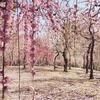 美しい城南宮の雅な枝垂れ梅と椿