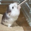 ハムジの世界|ロボロフスキー&キンクマハムスター飼育ブログ