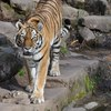 【夢日記】虎と共にトンネルを脱ける