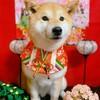 お内裏様はどこ?柴犬『きなこ』のおめかし(^▽^)ひな祭りバージョン♪
