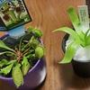 【新しい家族】食虫植物をお迎えしました!
