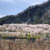 大西公園の桜を見に行ってきました