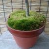 苔(コケ)の鉢一月上旬