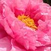 牡丹咲く~庭の花~