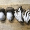 菌床栽培ホンシメジ:まだ高価ですが,ソテーにして食べてみるとなかなか.見栄えを除いて,ブナシメジとどれほど違う味になったのかはこの料理法では?   ブナシメジ共々,天然物とは見た目はかなり違いますが,味覚の秋,菌床栽培の沢山のキノコがスーパーに手ごろな価格で並ぶのはうれしいもの.ホンシメジももう少しお手ごろ価格になってくれれば---