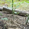 元株の脇芽から地植えしたトマト無残。