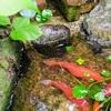 全滅したはずのメダカ稚魚、意外なトコで生き残ってました