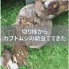 【閲覧注意】自宅の庭に放置していた切り株に大量のカブトムシが出てきた話